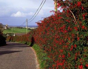 fuschia hedge in Donegal