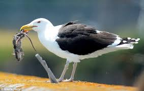 seagull with mouse