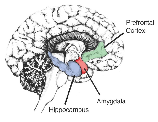 Image-showing-the-Hippocampus-in-the-human-brain